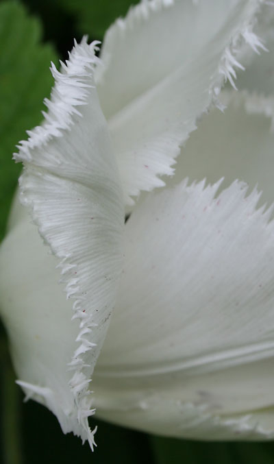 Fringed-tulip-detail