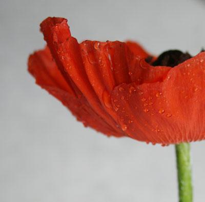 Poppy-petals