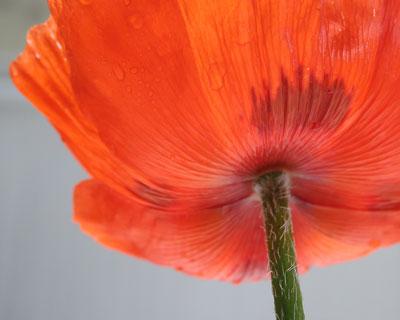 Poppy-underside
