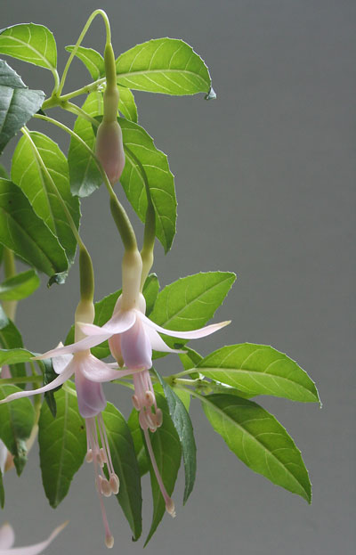 Fuchsia-Mrs-W-P-Wood