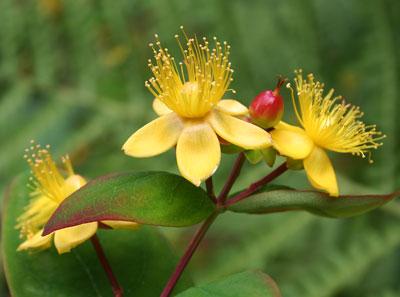 Hypericum-blooms