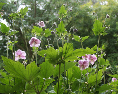 Japanese-anemones-through-t