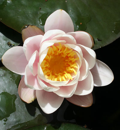 Water-lily-in-sun