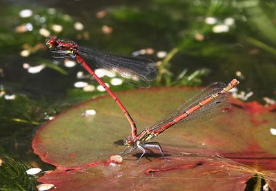 Large-red-damsel-flies