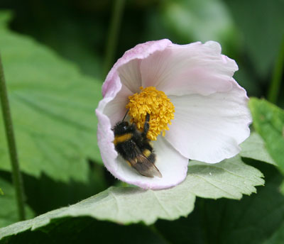 Japanese-anemone-and-bee