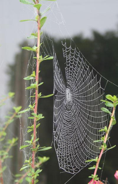 Escallonia-web