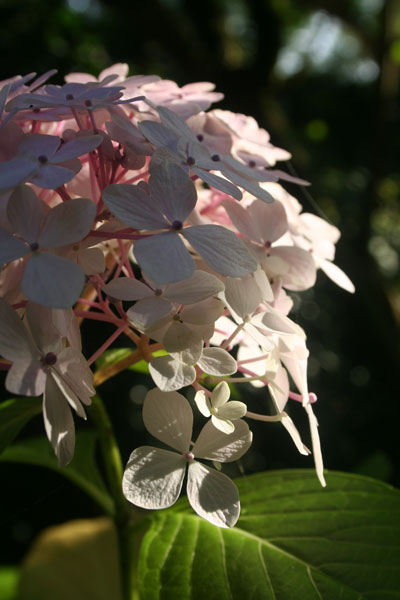 Hydrangea-pale-pink