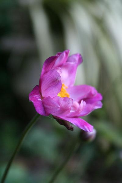 Single-late-anemone