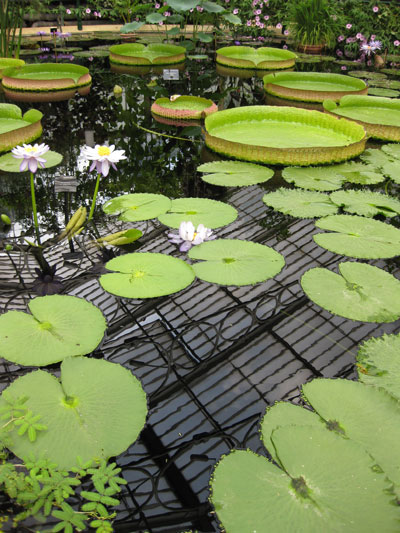 Kew-giant-lilies