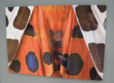 Tiger-moth-Kew