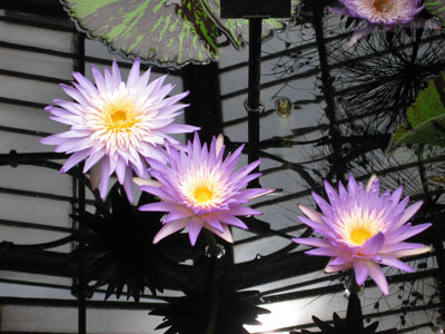 Kew-Waterlilies