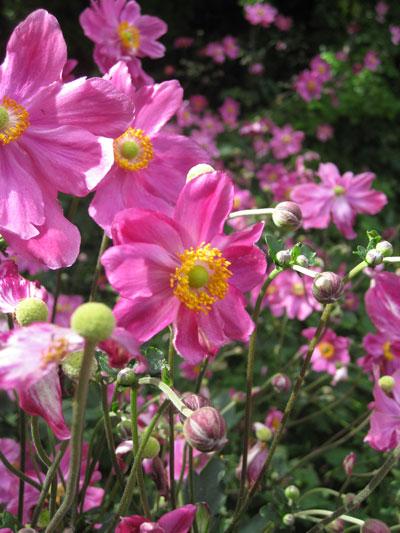 Japanese-Anemone-vivid-pink