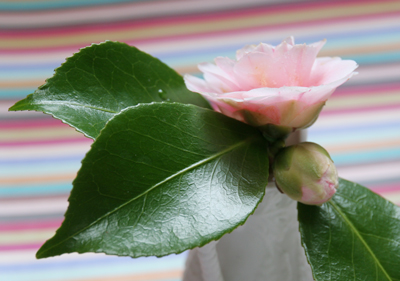 Camellia-bloom-and-bud