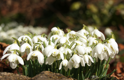 Double-snowdrop-clump