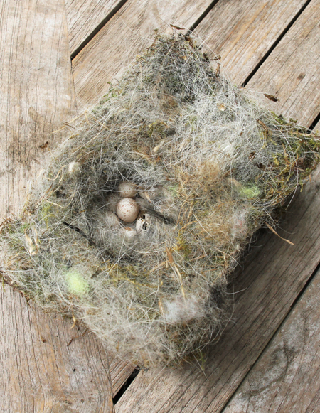 Blue-tits-nest-with-eggs