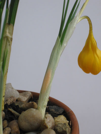Emerging-crocus-bud