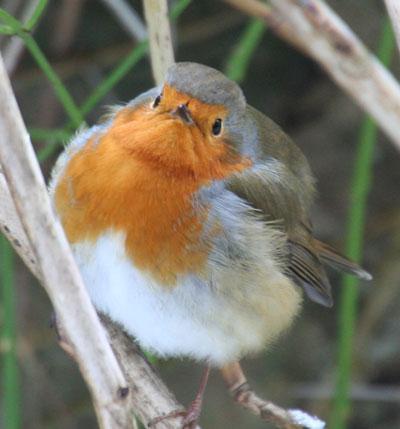 Robin-looking-at-you