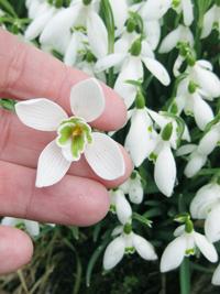 4-petal-snowdrop