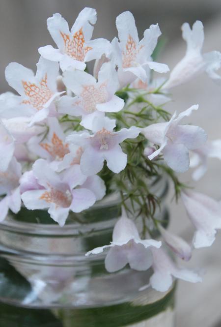 Kolwitzia-blooms