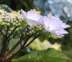 Hydrangea-petals
