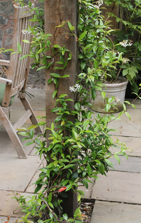 Evergreen-jasmine