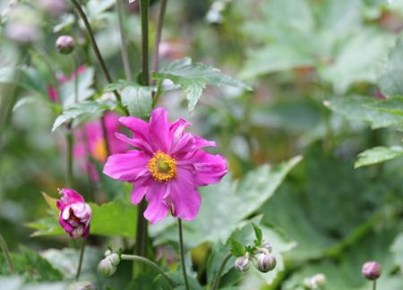 Dark-pink-anemone
