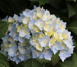 Hydrangea-pale-blue