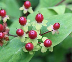 Hypericum-berries
