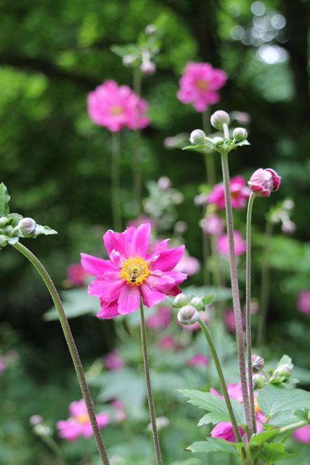 Japanese-anemone-dark-pink