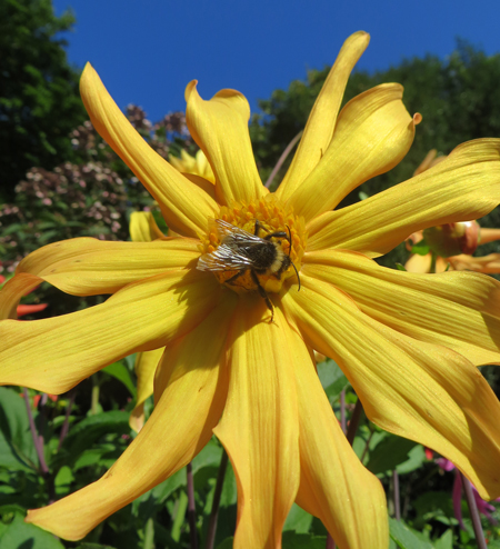 Yellow-cactus-daisy-bee