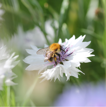 White-cornflower-bee