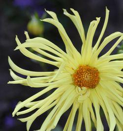 Cactus-dahlia-yellow