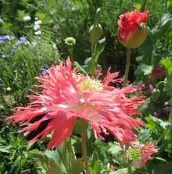 Poppy-pink-fizz