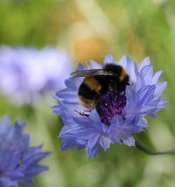 Cornflower-bee