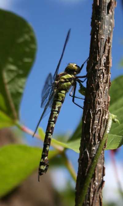 Dragonfly_2