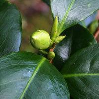 Camelliabud