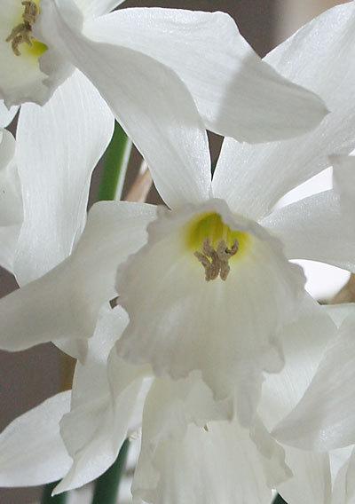 Narcissusdetail