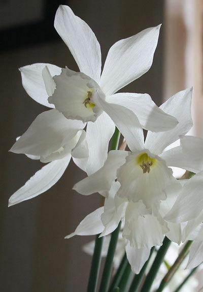 Narcissusstems